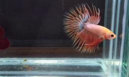 Ikan Guppy Crown Tail | Blogspot