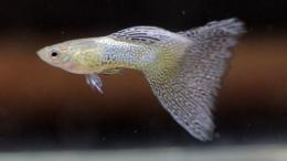 Ikan Guppy Silver Lace | Blogspot