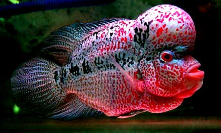 Ikan Louhan   Hewan Air Info