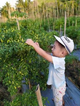 Anak saya saat di kebun Cabai. Dokpri