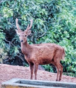 Potret Si Atung, rusa endemik Bawean