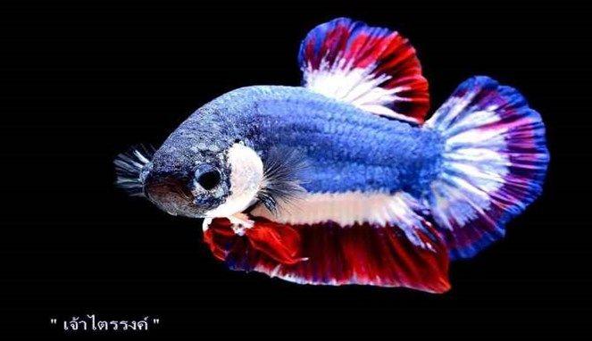 Cupang Thailand, diyakini merupakan ikan cupang termahal di dunia (Sumber: bombastis.com)