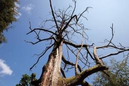 ilustrasi: westcoast-tree.org