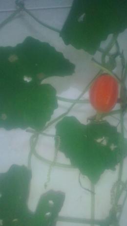Buah unik, penampakannya gabungan tumbuhan yang ada di sekitarnya--dokpri