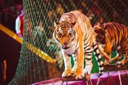 Ilustrasi harimau sirkus.(SHUTTERSTOCK via KOMPAS.com)