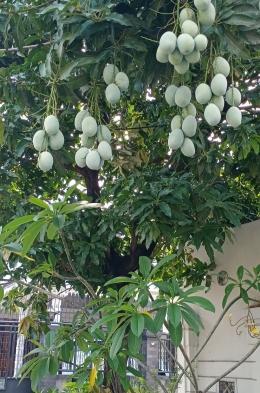 Ilustrasi: Pohon dan buah mangga untuk mengingatkan para sahabat masa sekolah di Kampung Bugis Bone, Sulawesi Selatan. Sumber: Dokpri | ASRUL HOESEIN