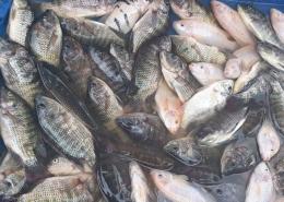Ilustrasi: Ikan darat dan laut di Kampung Bugis Bone, Sulawesi Selatan. Sumber: Dokpri | ASRUL HOESEIN