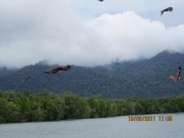 Kawanan elang yang terbang bebas di angkasa di Eagle Point, Kilim Geoforest Park (dokpri)