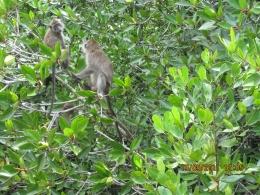 Monyet ekor panjang, penghuni hutan bakau (dokpri)