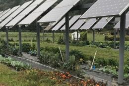 Tanaman tomat tumbuh dibawah panel surya di Univ Massachusetts (civileats.com)