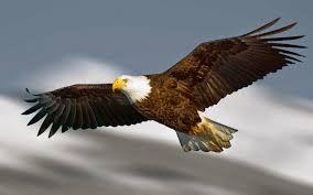 Elang terbang ( pixybay .com )