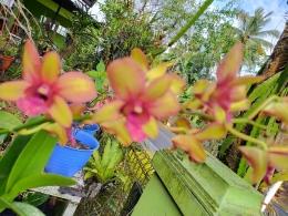 Dendrobium (dok.indah)