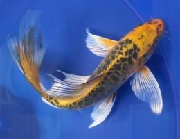 Ikan Longfin Koi (sumber: bahasikan.com)