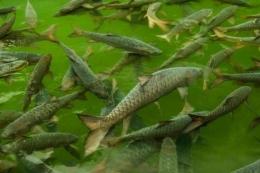 Ikan Dewa (sumber: kompas.com)