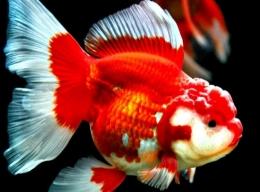 Ikan Mas Koki (sumber: thegorbalsia.com)
