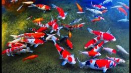 Ikan Koi (sumber: youtube.com)