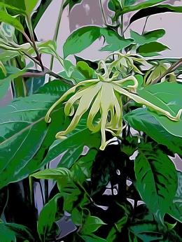 Ilustrasi Bunga Kenanga (dokumen pribadi)