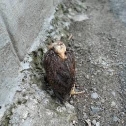 Anak ayam yang sedang tidur (dokpri)