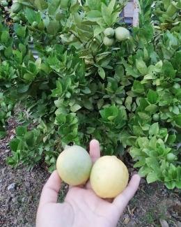 Hasil jeruk yang ditanam nenek saya (dokpri)