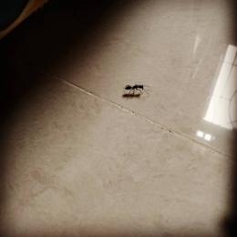 Semut yang ketahuan menyelinap ke kamar saya! (dokpri)