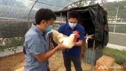 (Benjamin Ang menampilkan host Talking Point Steven Chia seekor ayam jantan Bresse. Foto : Channel Asia )