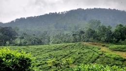 Kebun teh menuju curug Cijalu (Foto : koleksi pribadi)