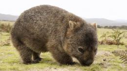www.creature-oftheworld.wikia.com   Wombat, lucu sekali. Seperti anak beruang, hidug nya lucu, gemuk dan lambat. Tetapi dia bisa berlari cepat! Untukku, wombat benar2 lucu ....