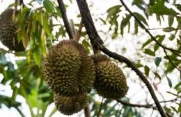 Buah durian (sumber foto: dokpri)