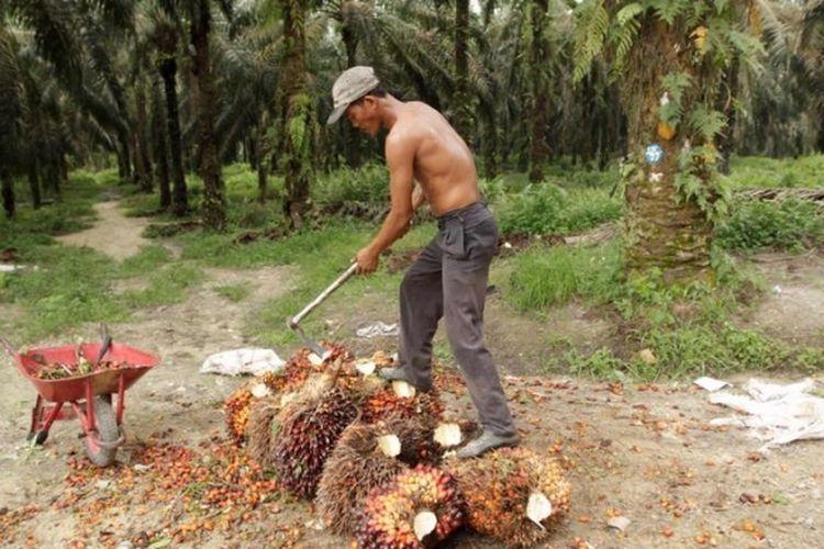 Pekerja sawit. (Foto: Kompas.com/RODERICK ADRIAN MOZES)