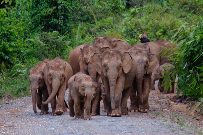 Kawanan gajah kerdil kalimantan - nationalgeographic.grid.id