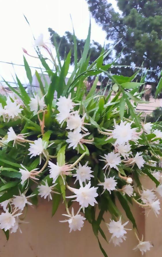 bunga putih Wijaya Kusuma (dok pri)