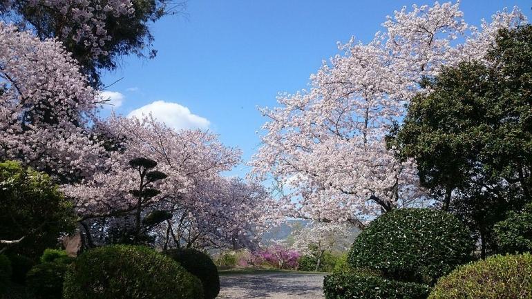 Cherry blossoms at Sugimura park, Hashimoto - Yae Yamamoto via Wikimedia Commons