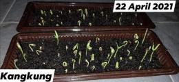Dokpri - pertumbuhan dari biji kangkung. Usia 3 hari.
