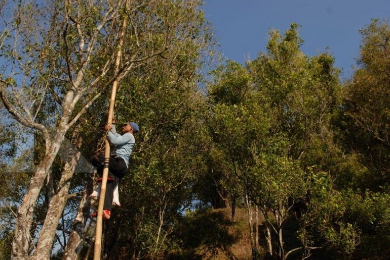 Ilustrasi buruh petik memanjat pohon memetik cengkeh. (KONTAN/Daniel Prabowo)