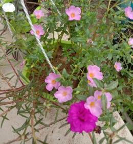Hobi menanam bunga (dokpri)