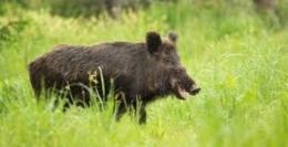 Ilustrasi babi hutan diambil dari furche.at