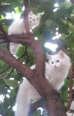 Ilustrasi Milo dan Cleo saat kecil senang memanjat pohon jambu. Dokpri