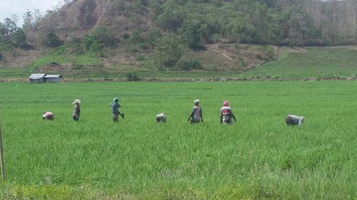 Ibu-ibu menyiangi sawah di Lembor, Kabupaten Manggarai Barat, Senin (25/9/2017). (Kupang.tribunnews.com)