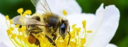 Lebah termasuk salah satu keanekaragaman hayati yang mendukung pasokan pangan dari tanaman untuk manusia (Ilustrasi: un.org/FAO Greg Beals)