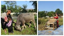Serasa pulang ke kampung. Kiri : bersama kerbau Kanan : si Bungsu mencoba merontokkan padi. (Foto : dokpri)