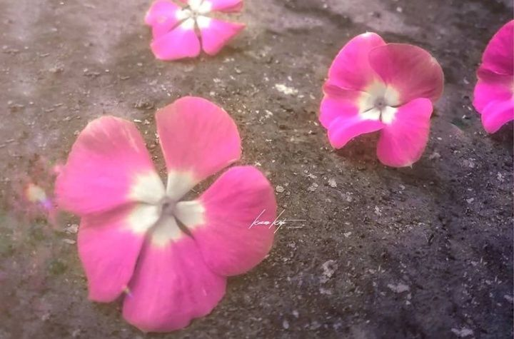 Bunga yang gugur. (Sumber: Dokumentasi pribadi/Foto oleh Kazena Krista)