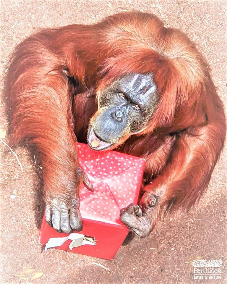 Putri asal Indonesia /gambar Perth.zoo