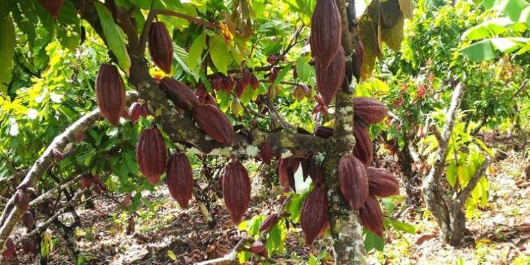 Pohon cokelat/kokoa (Foto: Kompas)