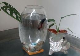 Janda bolong mungil bersama ikan cupang (Dokpri)