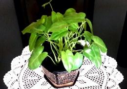 Philodendron mungil, primadona ruang tamu (Dokpri)