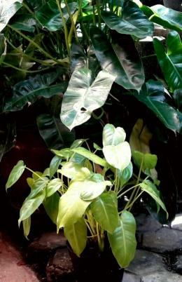 Philodendron mungil ini seumuran dengan philodendron berdaun lebar di belakangnya (Dokpri)