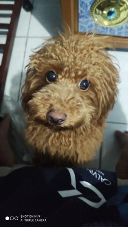 Anjing pudel saya dulu. Repot sekali mengajarinya sekadar untuk buang air, sumber: dokpri