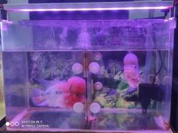 Dua ikan Lou Han saya, sumber: dokpri
