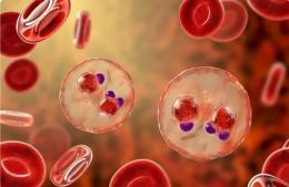 Parasit Plasmodium falciparum di dalam sel darah merah. Photo: Kateryna Kon / Shutterstock