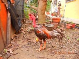 Ayam Gundul Bali, jika dilihat dari posturnya kemungkinan sudah ada sisipan darah ayam BK atau Vietnam. Sumber: Papajihttps://papaji.forumid.net/